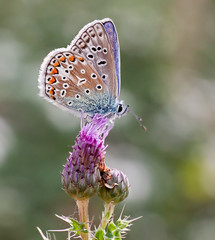 Love is like a Butterfly (Andrew Haynes Wildlife Images) Tags: nature butterfly insect wildlife oxfordshire commonblue rspb canon40d ottmoor ajh2008
