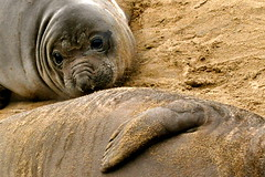 9180 (Panegyrics of Granovetter) Tags: aonuevo elephantseals whelps slaughteredfortheiroilrichblubber