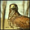 Águila de Harris (m@®©ãǿ►ðȅtǭǹȁðǿr◄©) Tags: barcelona españa canon catalunya harrishawk águila ripollet falconiformes parabuteounicinctus canonef50mmf18ii cetrería canoneos400ddigital avesrapaces m®©ãǿ►ðȅtǭǹȁðǿr◄© águiladeharris marcovianna accipítridos
