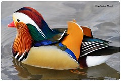 Mandarin Duck  (M.A.K.photo) Tags: nature birds animals germany deutschland wings nikon europa europe hessen outdoor wildlife vgel birdwatching waterbirds birdwatcher aixgalericulata naturesfinest mandarinente nbw bwg naturefinest naturewatcher natureselegantshots fantasticwildlife slbswimming distinguishedbirds birdperfect