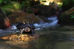 Sunlight on the model... (ChR!s H@rR!0t) Tags: river stream tortise pulau titi balik serong oenang mygearandme