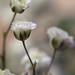 Gypsophila (Baby's-Breath)