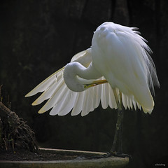 Coquetry (-clicking-) Tags: lighting light white nature birds animals zoo wings natural details ngc posing cleaning vietnam egret stork wow1 wow2 wow3 wow4 wow5 wowhalloffame colorsonblack colorphotoaward thảocầmviên bestcapturesaoi doublyniceshot selectbestexcellence sbfmasterpiece tripleniceshot elitegalleryaoi cleaningthebody blinkagain dblringexcellence tplringexcellence selectbestfrontpagephoto eltringexcellence