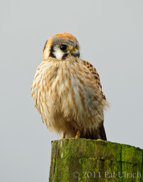 Female American Kestrel - Pat Ulrich Wildlife Photography