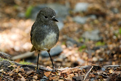 The curious South Island Robins Photo