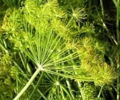 pianta-aneto-anethum-graveolens