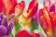 In a Tulip Bouquet (~ Maria ~) Tags: pink flowers red green dof bokeh magenta petal tulip withered cerise hotpink