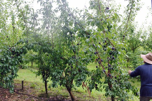 rayners fruit orchard 2