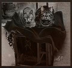 (COLOLIN by dani morillo) Tags: barcelona espaa cats blanco animals spain negro gatos ojos felino animales mirada catalua