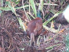 england bird birds pheasant westsussex 4 eastpreston malepheasant goldenavenue