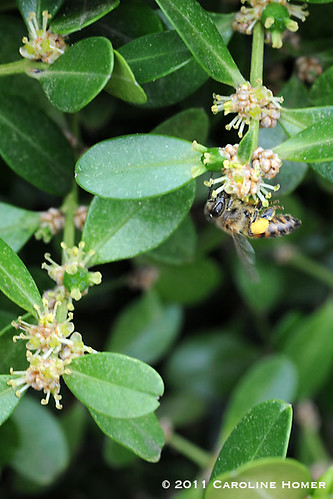 Honeybee on boxwood