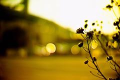 golden hours (moaan) Tags: life leica sun digital hope 50mm dof bokeh f10 utata noctilux wish afternoonsun m9 2011 cottonrose confederaterose inlife leicanoctilux50mmf10 leicam9 gettyimagesjapanq2