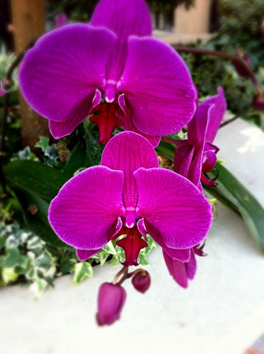 Moth Orchid at Longwood Garden