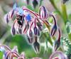 El elixir (chicuinina) Tags: azul flor avispa pelitos capullos