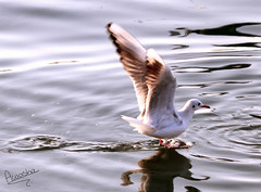 Landing (Still Alive ..) Tags: sea bird water marina canon seagull gull side crescent landing kuwait moment q8 canon7d moiq8