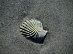 Sandy Shell (hpaich) Tags: desktop wallpaper beach newjersey sand background nj shell shore oceancounty desktopwallpaper desktopbackground barnegatlight