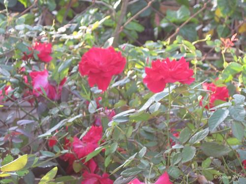 Nursery roses