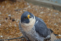 5march11 009 (Lemayrenee) Tags: falcon lightning lightening peregrine 5march11