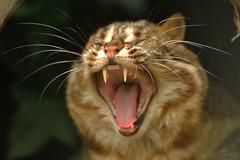 Lepaard Cat (Ami 211) Tags: feline bigcats felidae smallcats felinae leopardcat prionailurus prionailurusbengalensis