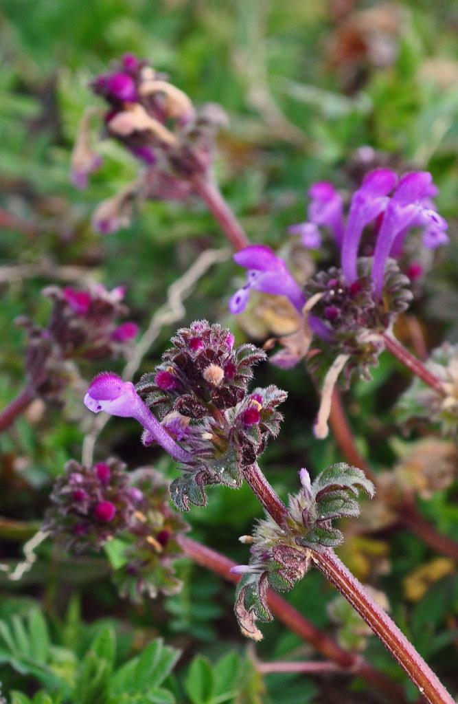 Lamium amplexicaule (4)