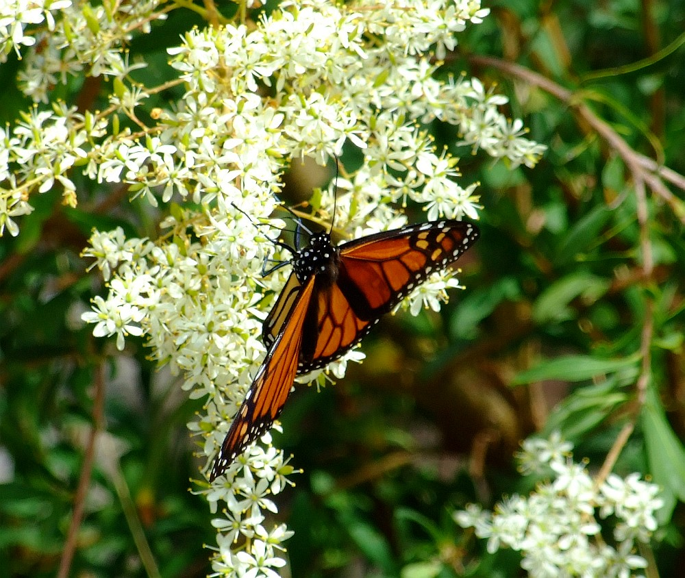 monarch butterfly 04