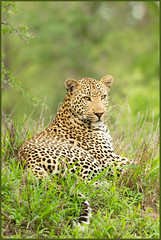 Pretty Boy (hvhe1) Tags: africa male nature animal cat pose southafrica poser wildlife natuur safari leopard bigcat afrika predator dier mala gamedrive gamereserve prettyboy luipaard malamala specanimal hvhe1 hennievanheerden matshipiri