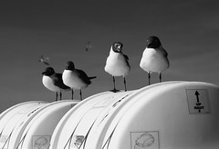 Laughing Gulls on the Ferry (B&W)