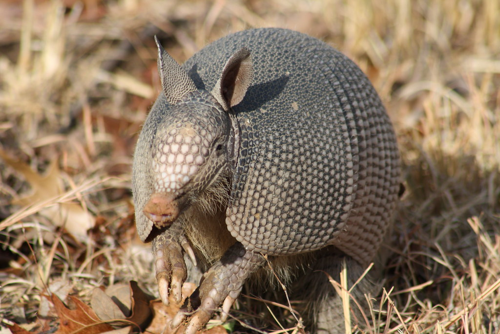Armadillo 086 by Shellie Sue Gonzalez, on Flickr
