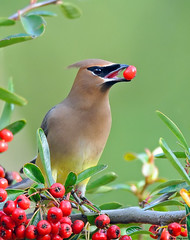 The taste of berries (Jerry Ting) Tags: california unioncity cedarwaxwing drycreekpioneerregionalpark flickrexplore ebparksok drycreekmeyers