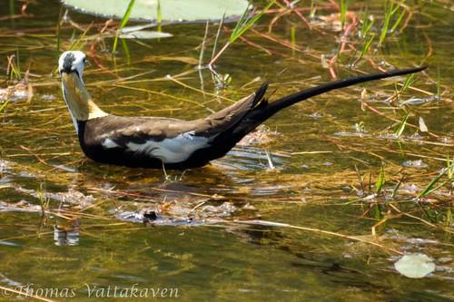 Pheasant Tailed Jacana