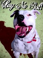 SAY NO BSL!! (Willow Creek Photography) Tags: tyson canine pitbull terrier mansbestfriend bully bsl k9 apbt americanpitbullterrier whitepitbull bullybreeds malepitbull spottedpitbull kingstonreyphotography