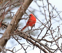 Male Cardinal (pmarella) Tags: morning trees color bird nature newjersey nj viewlarge pmarella malecardinal donttrythisathome hudsoncounty amomentintime throughmyglasseye backyardnature ef100400mmf4556lisusm riverviewpkproductions myeyeshaveseenthis eos7d