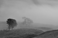 Budding Oak in Fog (Marc Briggs) Tags: road mist tree fog oak oaktree grasslands figueroamountain lospadresnationalforest happycanyonroad serpentinesoil dsc0061c