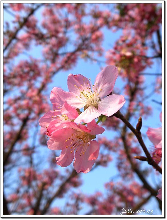 櫻花 (16)