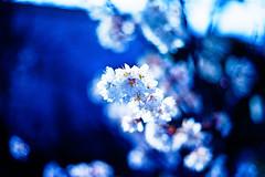 Hope (moaan) Tags: life leica blue light sunlight color sunshine digital 50mm march spring shine blossom dr summicron utata ume hue m9 japaneseapricot f20 2011 inlife leicasummicron50mmf20dr fullblossom leicam9 gettyimagesjapanq2