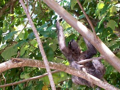 Three-toed sloth with baby sloth