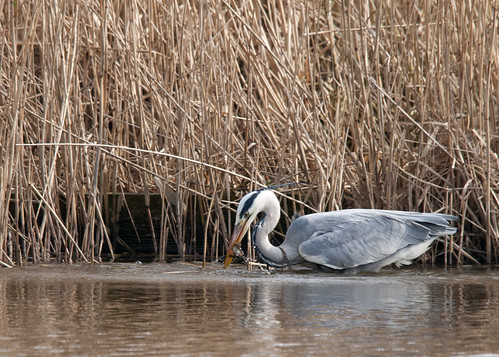 Grey heron catches fish