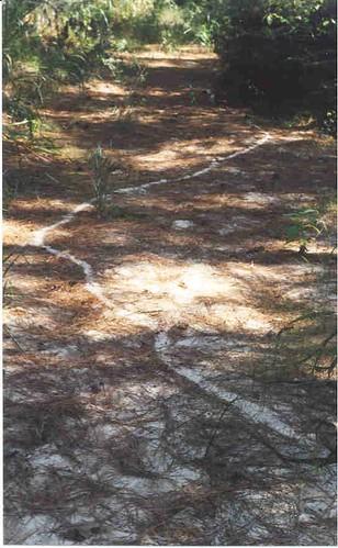 Leafcutter trail in creek Nov