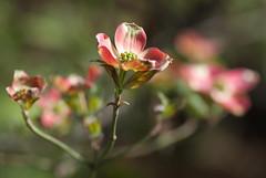 Pink Dogwood Branch (Judy Rushing) Tags: flowers backyard nhm shallowdof pinkdogwood gamewinner pregamewinner
