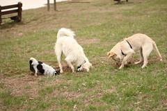 Mole Patrol (BriSaEr) Tags: rescue puppy mutt mix brittany husky shepherd digging schnauzer terrier chow jackrussell ratterrier schnoodle blitzen bello threedogs sooc molepartol