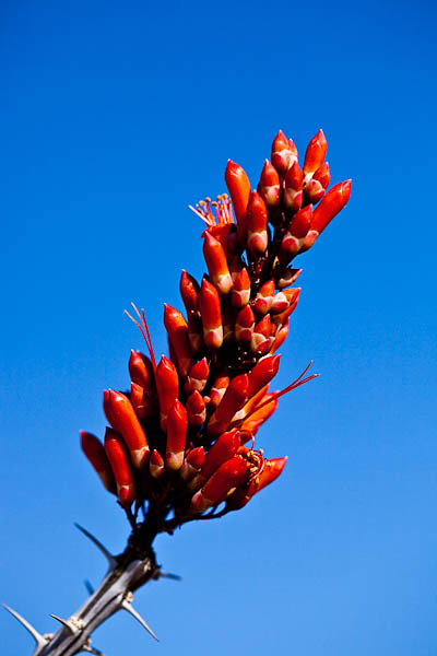 Ocotillo Blooming