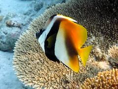 Maldives Underwater: Masked Bannerfish (presbi) Tags: snorkeling maldives tropicalfish maldive bannerfish pescitropicali saariysqualitypictures doublyniceshot tripleniceshot mygearandme mygearandmepremium mygearandmebronze mygearandmesilver dblringexcellence aboveandbeyondlevel1 allofnatureswildlifelevel1 allofnatureswildlifelevel2 allofnatureswildlifelevel3 aboveandbeyondlevel2 vigilantphotographersunite vpu2 vpu3 vpu5 vpu6 vpu7 vpu8 vpu9 vpu10