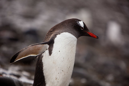 Gentoo on the move