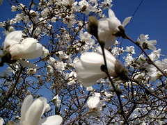 Zdjcie016  [ EXPLORE ] (Wisia) Tags: poland magnolia biaa pikna pachnca aboveandbeyondlevel4 aboveandbeyondlevel1 aboveandbeyondlevel2 aboveandbeyondlevel3