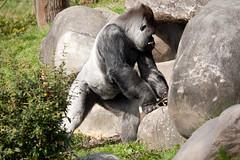 2011-03-25-12h52m56.272P9285 (A.J. Haverkamp) Tags: zoo rotterdam blijdorp gorilla dierentuin diergaardeblijdorp westelijkelaaglandgorilla bokito httpwwwdiergaardeblijdorpnl canonef100400mmf4556lisusmlens dob14031996 pobberlingermany