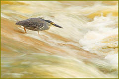 Braving the waves (hvhe1) Tags: africa bird heron nature animal river southafrica flow fishing bravo waves wildlife natuur safari afrika waterfowl rapid reiger vogel sandriver gamedrive gamereserve nightheron greenbackedheron malamala butoridesstriata interestingness4 specanimal hvhe1 hennievanheerden onceinalifetimeshot