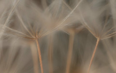 Macro forest (macropoulos) Tags: macro topf50 soft 500v20f dandelion seeds 500v50f softfocus gettyimages canoneos5d canonspeedlite430ex 30faves30comments300views canonmpe65mmf2815xmacro gettyimages:date_added=pre20110607