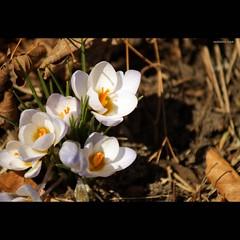 Mixture of spring and autumn (mariola aga) Tags: autumn flower nature leaves square spring glencoe mixture chicagobotanicgarden thegalaxy mygearandme mygearandmepremium