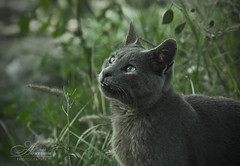Russian Blue (Saleh Alnemari) Tags: city blue summer portrait black green art nature digital cat canon 350d photographer arts fantasy greeneye russian ksa saleh 2011 taif elites       eliets alnemari salehnemari  salehalnemari    salehphotographer