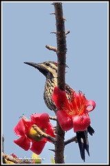 1152 flambacked woodpecker (chandrasekaran a 530k + views .Thanks to visits) Tags: wood flowers india flower tree nature canon chennai pecker ceiba adyar theosophicalsociety 60d flamebacked boxbx chandrasekarana